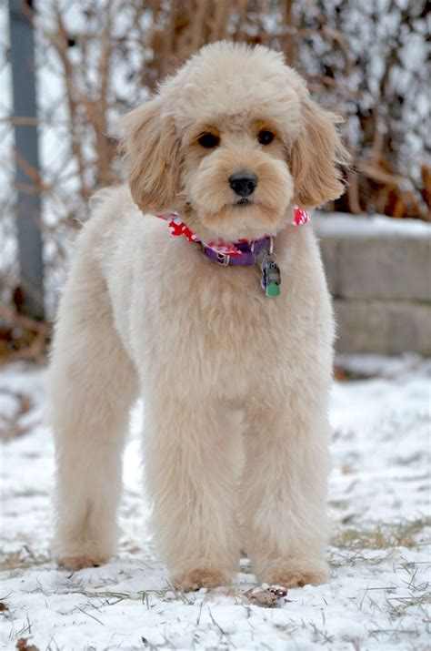 labradoodle grooming cuts picture the 25 best goldendoodle haircuts ideas on pinterest