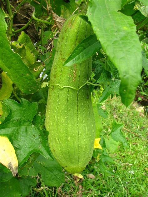 houseplant vine luffa gourd plant tips for growing luffa plants