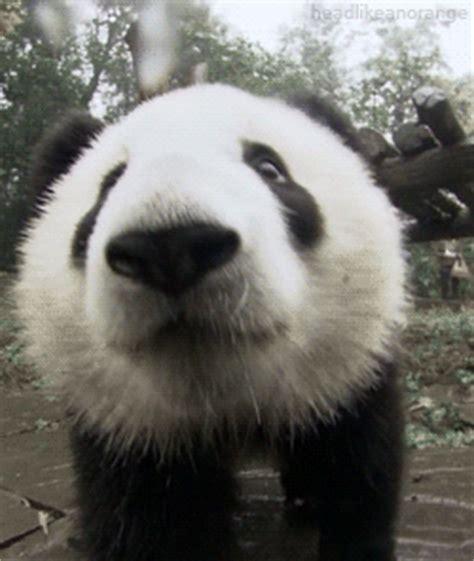bear panda gif find  gifer
