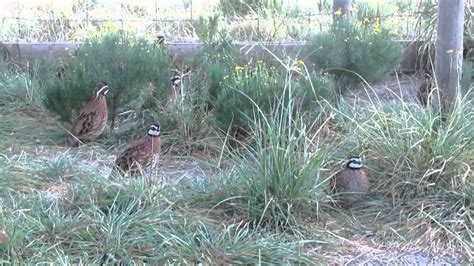 raising quail backyard backyard quail youtube gogo papa