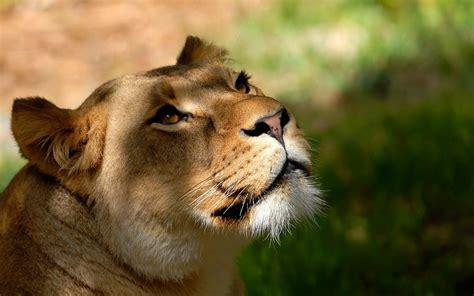 imagenes wallpapers animales animales naturaleza leones animales salvajes fondos de