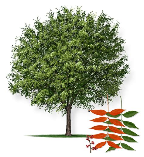 elm tree symbolism 100 elm tree symbolism the meaning of tree tattoos