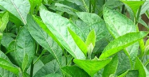 Tanaman Daun Afrika daun afrika tanaman herbal anek uteun
