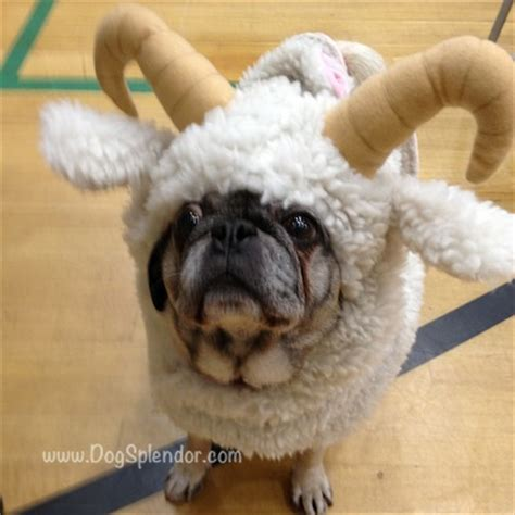pug breeders seattle pug o ween a plethora of pugs in costumes dogsplendor