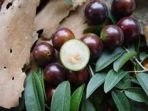 Penjual Bibit Buah Leci dinomarket pasardino bibit jaboticaba anggur batang