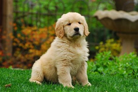 golden retriever puppy not retyiretyi pixabay