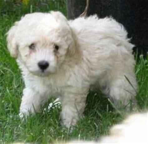 bichon poodle rescue indiana bichon poo images bloguez
