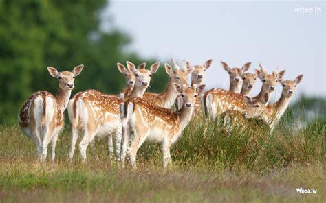 group  deer desktop wallpaper