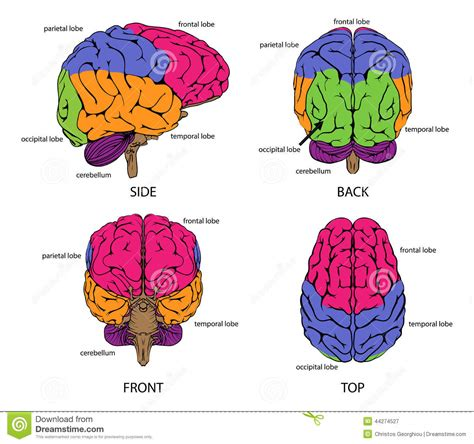 different sections of the brain human brain from all sides stock vector image 44274527