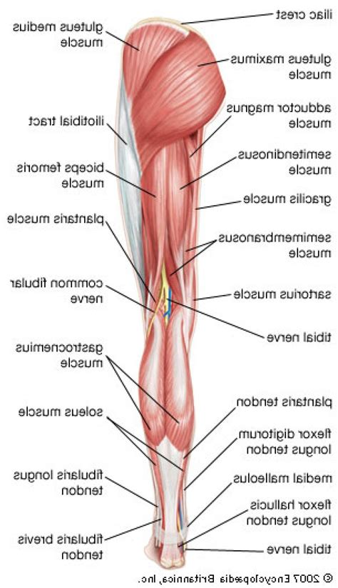 diagram of back muscles back thigh muscles diagram anatomy organ