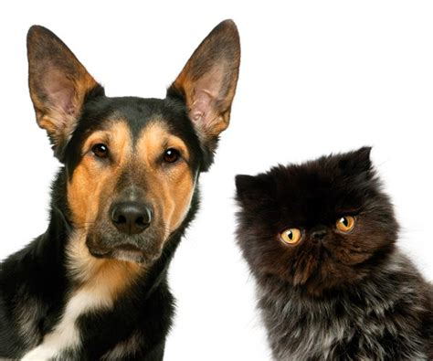 are cats or dogs smarter who s smarter cats or dogs catster