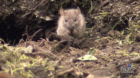 rats take over vancouver daycare playground keeping kids