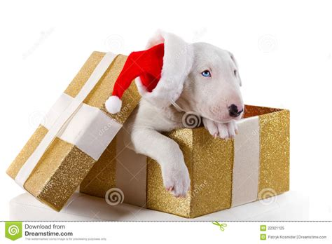 puppy present bullterrier puppy in gift box royalty free stock photo image 22321125