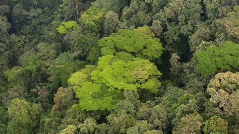 nyungwe forest gorillatimes nyungwe forest is a magnificent place for ecotourism the