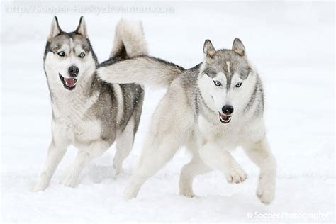 snow dogs 2 snow dogs 3130 by sooper husky on deviantart