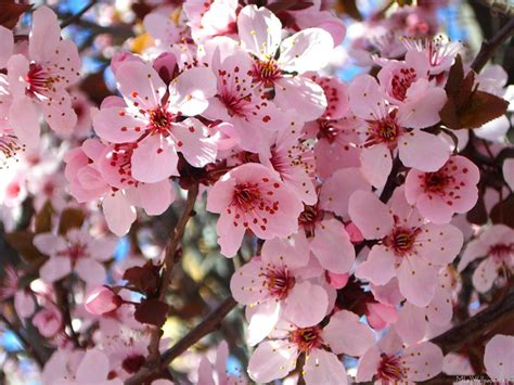 mlewallpapers com pink blossoms
