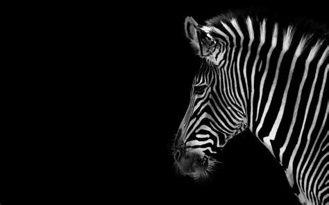 black and white leopard wallpaper beautiful wallpapers zebra rare pictures collection