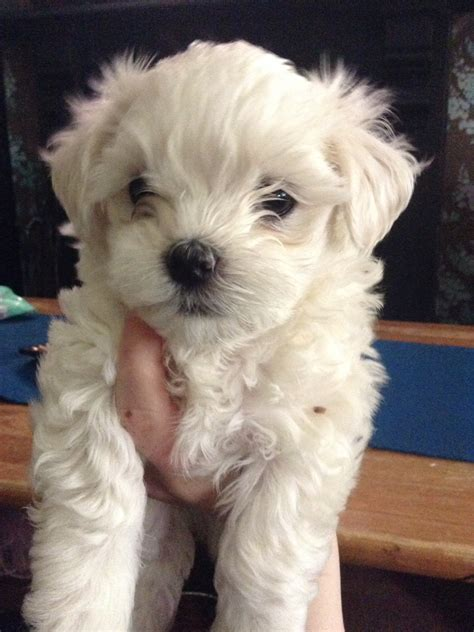 bolognese for sale kc registered bolognese puppy for sale stunning wallasey merseyside pets4homes