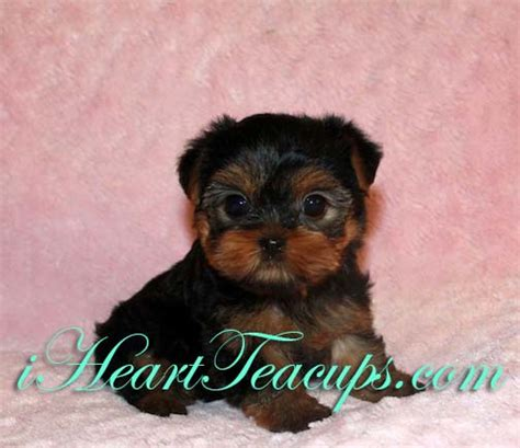 teacup yorkie puppy names teacup yorkie puppies name teacup yorkie jean anauif clipart kid