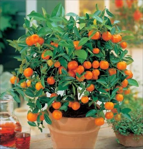 indoor fruit tree the meditative gardener oranges on the orange tree