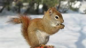 do squirrels hibernate bennett wildlife removal