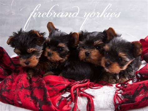 how to litter a yorkie puppy firebrand yorkies quality terrier breeder in wi 187 firebrand yorkies