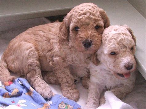 cost of labradoodle puppy labradoodles breeders 1 comment hi res 720p hd