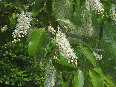 cherry tree species prunus serotina black cherry go botany