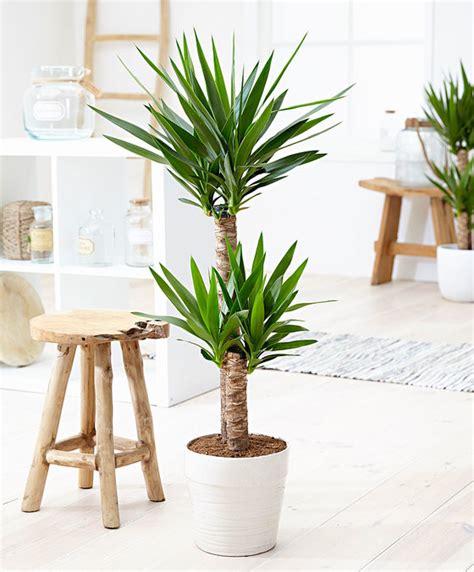 buy house plants now yucca 2 trunks bakker com buy house plants now yucca 2 trunks bakker com