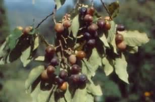 Diospyros Lotus Fruit Herbs Treat And Taste What Is Amlook Fruit Date Plum Or