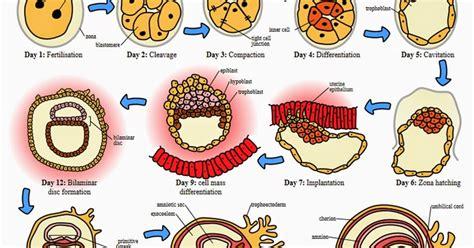 El 20327 B 02 W 191 c 243 mo construyen cuerpos los genes huevo al adulto