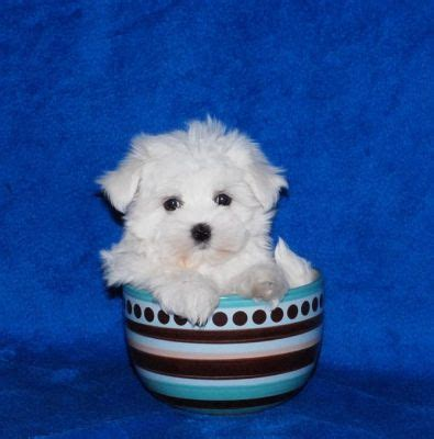 teacup maltese puppies for adoption and teacup maltese puppies for adoption