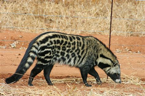Meet the African civet - Africa Geographic