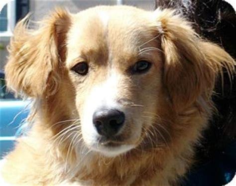 golden retriever corgi mix for sale corgi rescue california breeds picture
