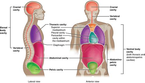 cavity diagram sructure of human abdominal cavity diagram of anatomy