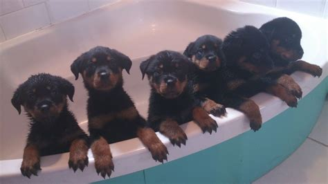 rottweiler breeders colorado rottweiler puppies and dogs for sale and adoption in colorado breeds picture