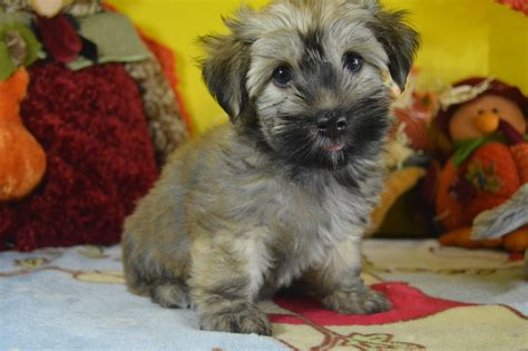 havanese puppies for sale in ri havanese puppies for sale royal flush havanese