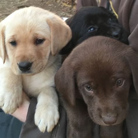 chocolate lab puppies for sale in tn 1000 images about animals on tennessee tourism and yellow