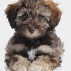 brown teddy puppies for sale 1000 images about hypoallergenic pups on schnauzers miniature schnauzer