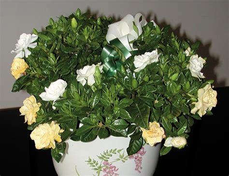 pianta con fiori bianchi molto profumati gardenia pianta molto esigente dai profumati fiori bianchi