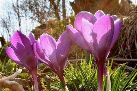 fiore zafferano fiore zafferano aromatiche zafferano fiore