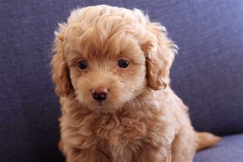 teacup goldendoodle puppies for sale teacup goldendoodle f2b family friendly and only 6 10 lbs ready sep 13