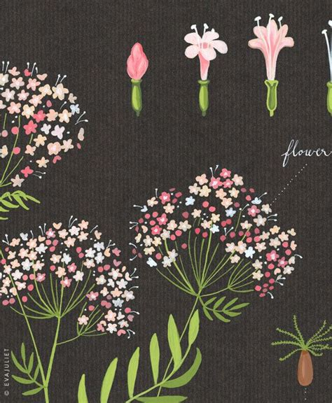 libro valerian the complete collection close up of valerian print 13x19 botanical collection flower plant herbs juliet
