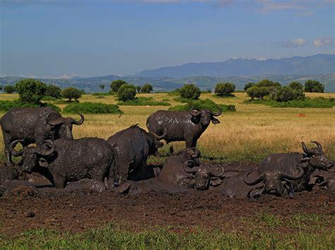 queen elizabeth national park uganda wildlife queen elizabeth national park best uganda wildlife