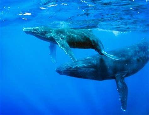 Imagenes Sorprendentes De Ballenas | im 225 genes del mundo animal ballena azul