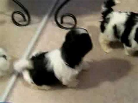 barking shih tzu shih tzu puppies barking and