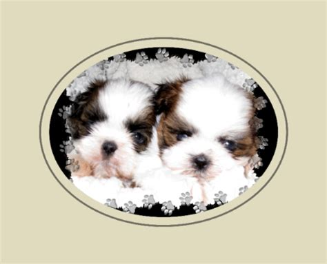 puppies for sale in hickory nc nc shih tzu breeder shih tzu puppies for sale shih tzu adoption