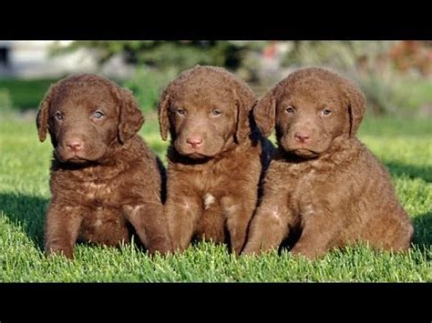 chesapeake puppies 60 seconds of chesapeake bay retriever puppies