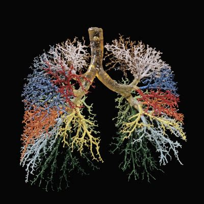 medical pictures info bronchial tree