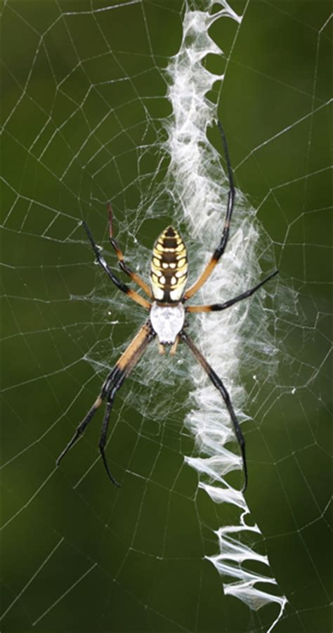 Golden Garden Spider Bite by Spider Woes Insects In The City